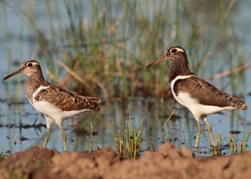 Wilson's Snipe, Identification, All About Birds - Cornell Lab of ...