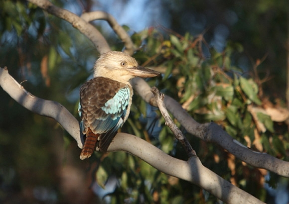 Blue-winged-Kookaburra-gs580-580x410.jpg