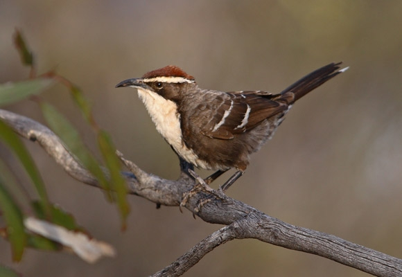 Chestnut-crowned-Babbler-ct580-580x400.jpg