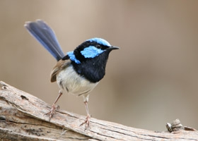 Image result for fairy wren