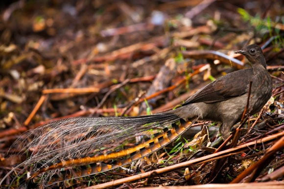 superb lyrebird birdlife australia