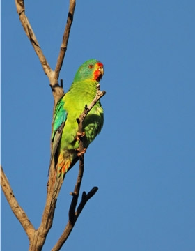 Swift Parrot | BirdLife Australia