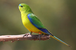 Orange-bellied Parrot Recovery