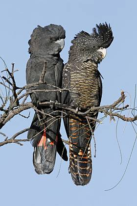 Forest Red-tailed Black-Cockatoos - Keith Lightbody